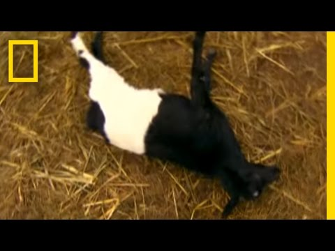 Fainting Goats! | National Geographic