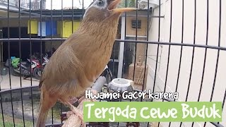 Download Video BRANDY WATCH : Cewe Buduk Merangsang Hwamei Jadi Gacor Di CASOL BIRD FARM MP3 3GP MP4