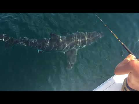 Huge 15ft Great White shark spotted in Virginia Beach