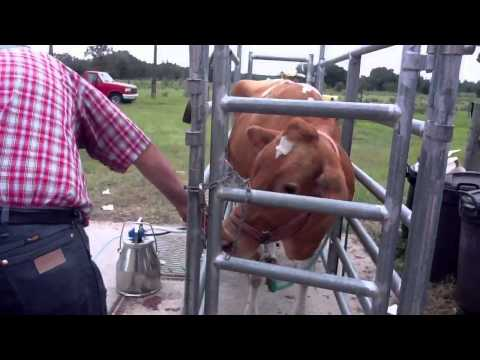 Milking a Guernsey Cow!