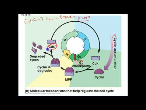 AP Biology: Cell Cycle Regulation and Cancer