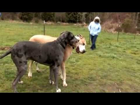 Video Big Dogs - Great Dane Dog Park action :: http://www.bajodog.com download in MP3, 3GP, MP4, WEBM, AVI, FLV January 2017