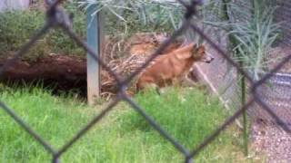 Went to the Wildlife World Zoo in Arizona, and these New Guinea singing dogs kept hearing an ambulance siren and howling along to it. It was so cute! Maybe i...