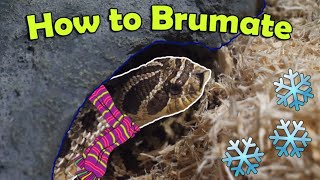 Snake Breeding 101: How to Brumate Colubrids by Snake Discovery