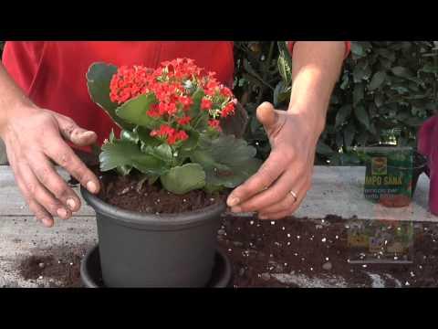 come coltivare la kalanchoe - la pianta che combatte le radazioni
