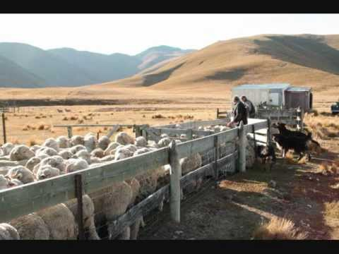 New Zealand (Country) - new zealand high sheep station muster.