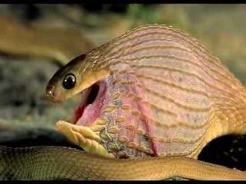 Serpiente se atraganta con huevo