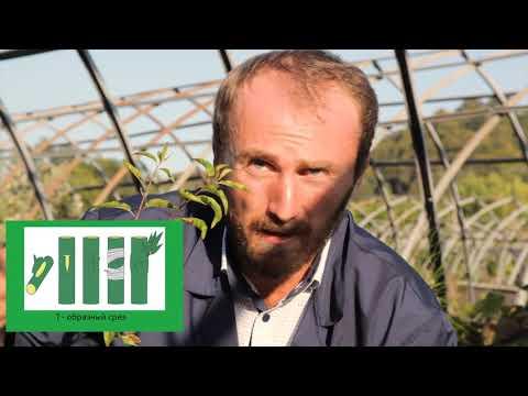 Окулировка и защита культуры персик в условиях Абхазии