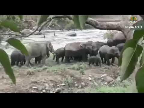 Kelompok Gajah Bersama Banyak Anakan