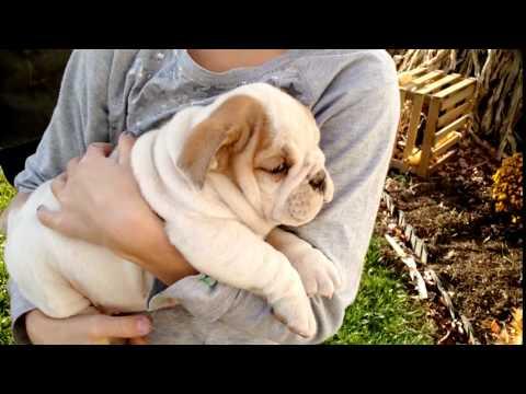 Chloe - 7-8th English Bulldog