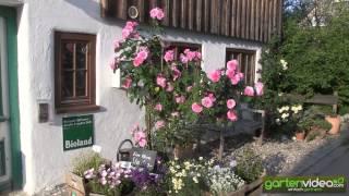 #1251 Rosenpflanzung - David Austins Gertrude Jekyll zwischen Stauden