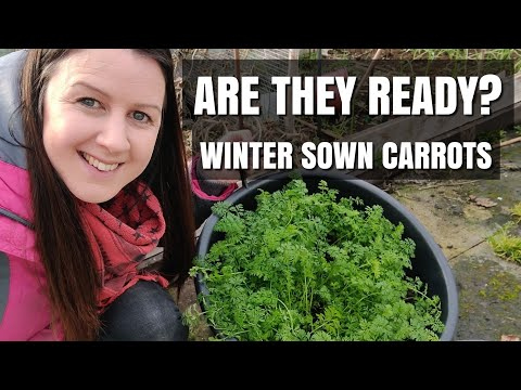 Overwintering Carrots | Are They Ready To Harvest? | James Scarlet Intermediate
