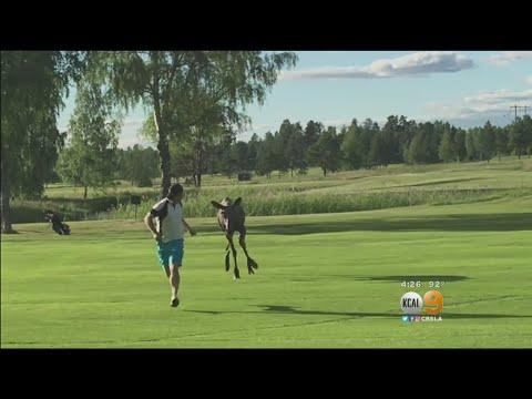 Hirvi hermostuu golffarille – Nyt tuli ruotsalaiselle kiire!