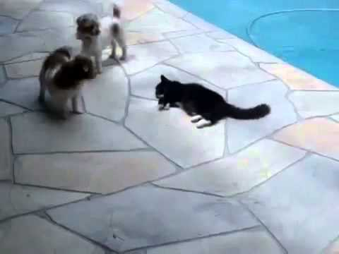 Cat Pushes Dog In A Pool - The Translation