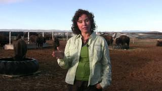 Crossing Borders: Bringing Bison Back to Mexico