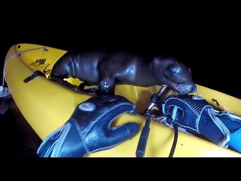 Baby Sea Lion boards a diver's Kayak and won't get off
