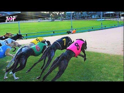 Australian greyhound racing - Track race
