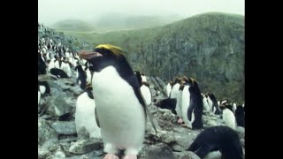 Macaroni Penguins - Attenborough: Life in the Freezer - BBC