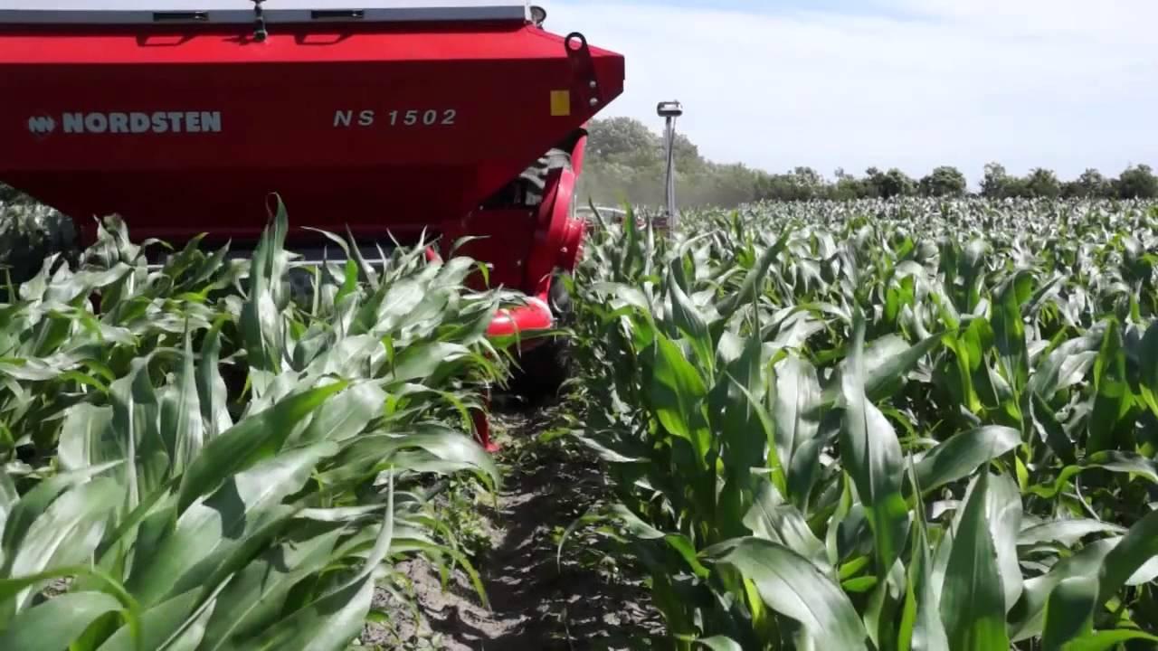Radrensning af majs
