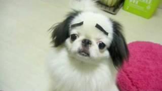 Собака с накладными бровями
