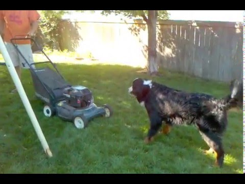 Bernese Mountain Crazy Dog Barking At The Lawn Mower