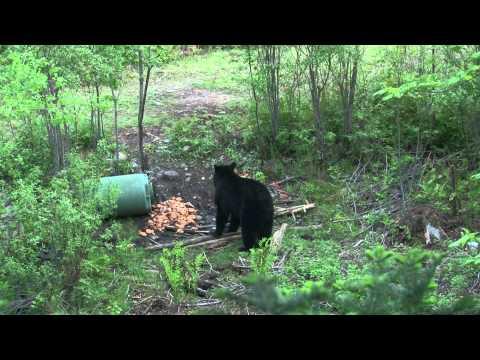Chasse à l'ours : Un tir parfait