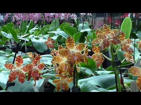 Orchideen Arten: Phalaenopsis - Phal Ambonosa x gig ...