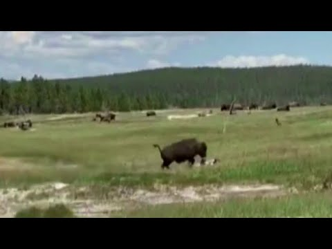 Montana woman plays dead to avoid bison attack