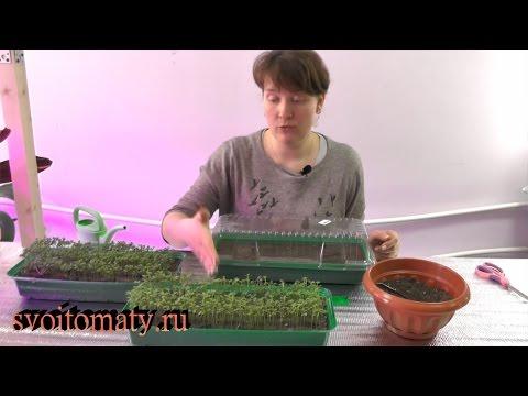 Выращивание укропа на подоконнике зимой без земли 29