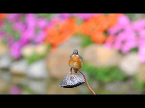 翠鳥 by Nikon D90 + Sigma 500mm F4.5 DG