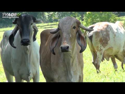 ganado leche - Producción de leche en el trópico.