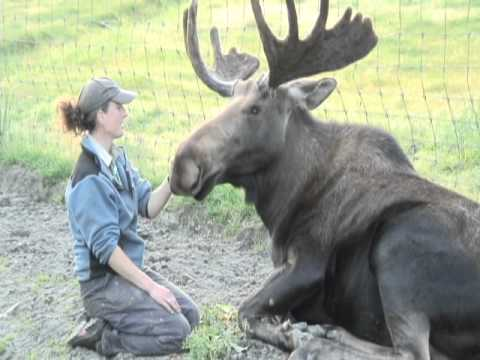 A Moose and His Girl