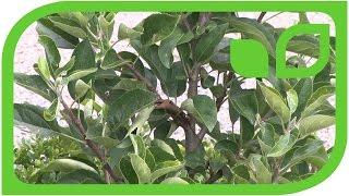 Der kleinste Maloni-Apfelbaum Gulliver