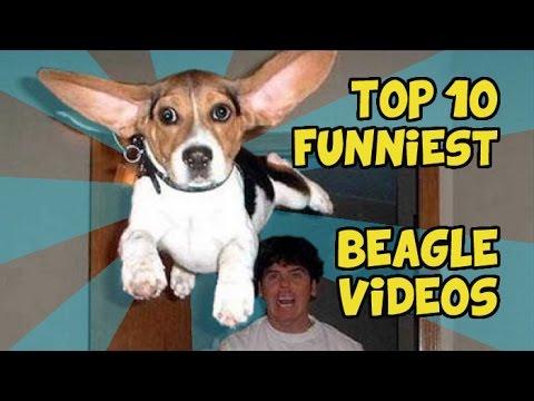 top 10 - beagle divertenti!