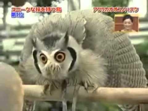 owl - Count Dracula owl.