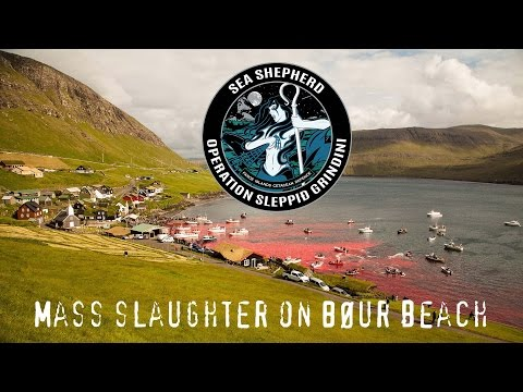 Mass whale slaughter in Faroe Islands. WARNING: GRAPHIC