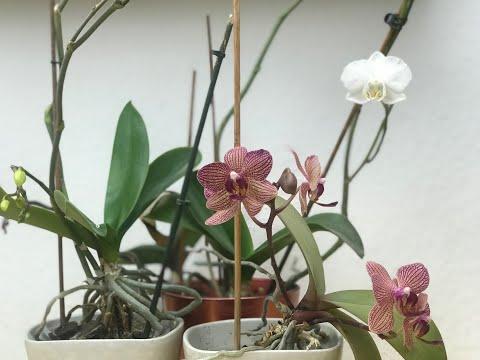 Brutal aber effektiv: Orchideen Wurzeln richtig kürze ...