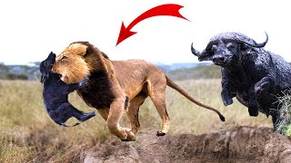 Video Great! Mother Buffalo rescue success newborn Buffalo from the king Lions,15 Wild Dogs vs 3  Lions MP3, 3GP, MP4, WEBM, AVI, FLV Desember 2018