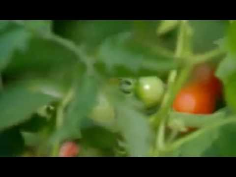 Tips For Home Gardening By Jamie Oliver Tomatoes & Potatoes