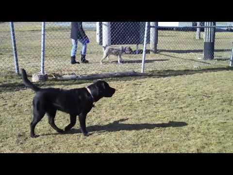 Video Great Dane Fun ;) aka -Keji the Black Lab at the Dog Park download in MP3, 3GP, MP4, WEBM, AVI, FLV January 2017