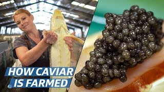 Video How Russian Sturgeon Caviar Is Farmed and Processed — How To Make It MP3, 3GP, MP4, WEBM, AVI, FLV November 2018