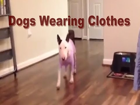 Dogs Wearing Clothes – Boxer, Chihuahua, Terrier, Pit Bull Type, Whippet, English Bull Terrier, Pug.