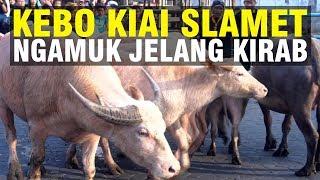 Video Kebo Bule Kiai Slamet Ngamuk usai Dimandikan untuk Kirab Malam 1 Suro di Keraton Surakarta