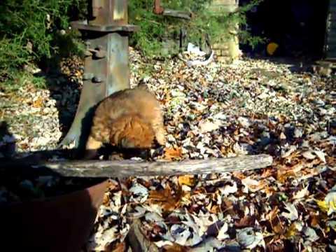 Zack in red - Soft Coated Wheaten Terrier