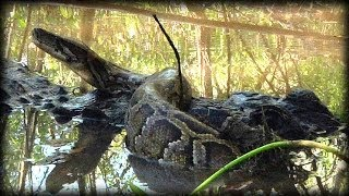 Alligator Attacks Python 07   Dangerous Animals
