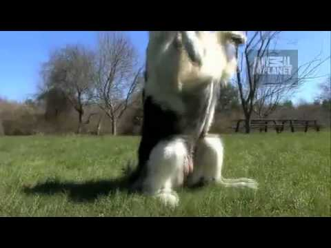 Dogs 101 Broder Collie (видео)