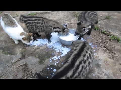 非洲靈貓喝牛奶粥喝到太High,結果臉一抬起來時大家都笑到直呼「是在洗臉嗎?」!