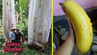 Video Hanya Tumbuh di Pedalaman, Pohon Pisang Ini Berukuran Super Raksasa MP3, 3GP, MP4, WEBM, AVI, FLV Juni 2019