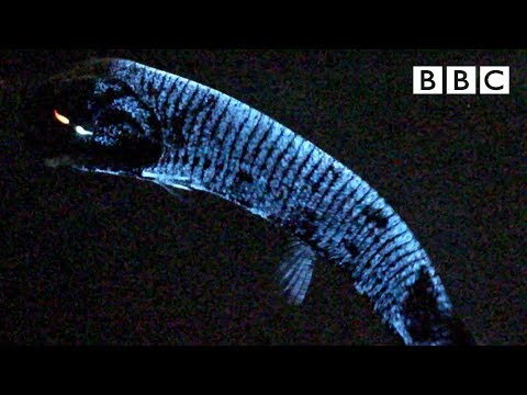 Why this deep sea fish has scientists stumped 🤔 - BBC