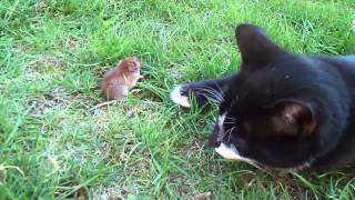 Video myš versus mačka - kto z koho ? MP3, 3GP, MP4, WEBM, AVI, FLV Oktober 2017
